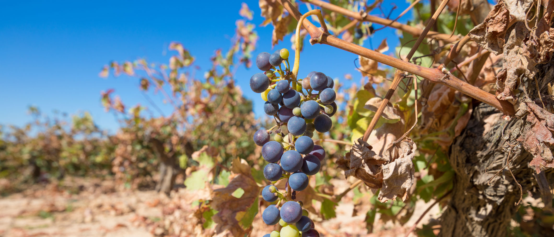 dry vineyard shows of climate change in Canada