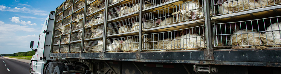 A transportation truck carrying live turkeys in a caged trailer.