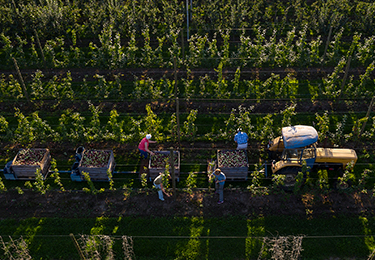 Farmers picking apples in an orchard.